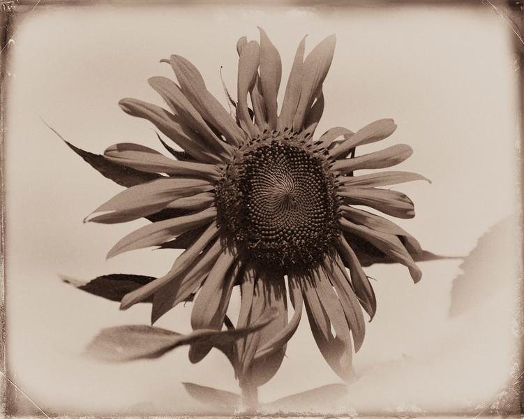 Sunflower v10(3069)_.jpg