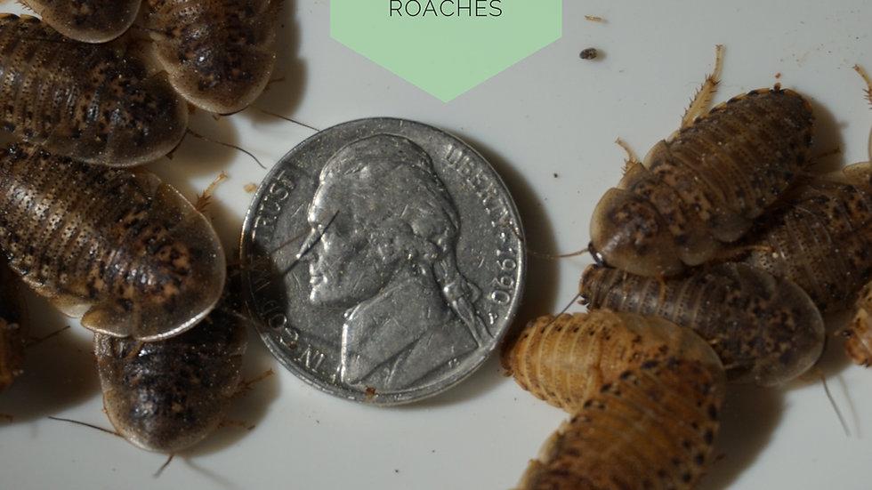 50 Medium Dubia Roaches