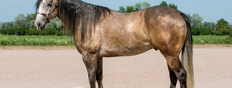 DONE IT WITH CLASS 2012 Gray Gelding- Sells September 22 @Billings Livestock