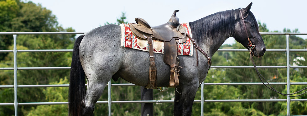 DW SAN BLACK KNIGHT- 2017 Blue Roan Stallion
