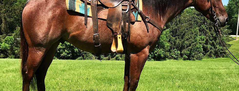Mrdoublestraws Kgclu-2013 Bay Roan Gelding *Sells June 23rd @ Billings Livestock