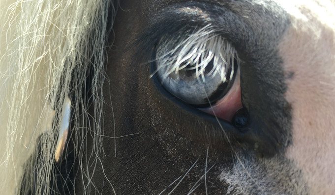 The All-knowing eye of a horse