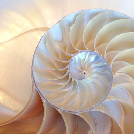 shell nautilus Fibonacci section spiral