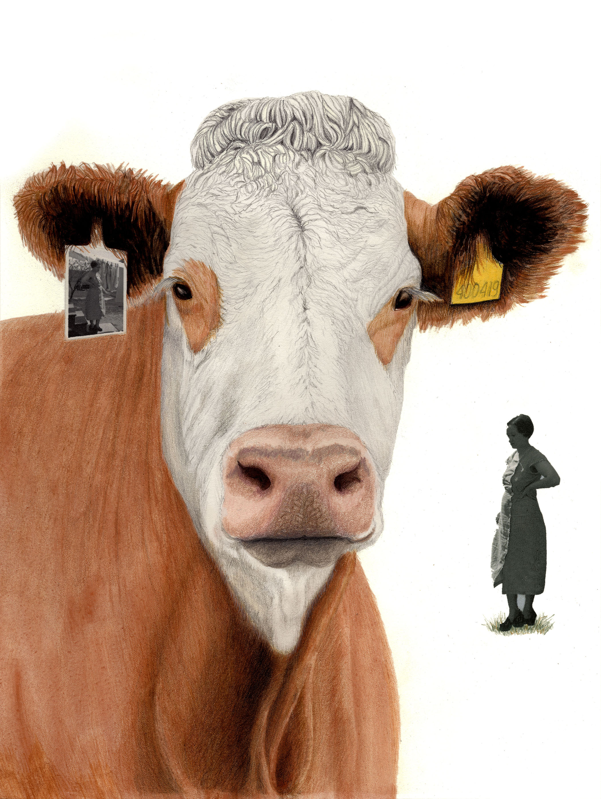 Orkney Cow