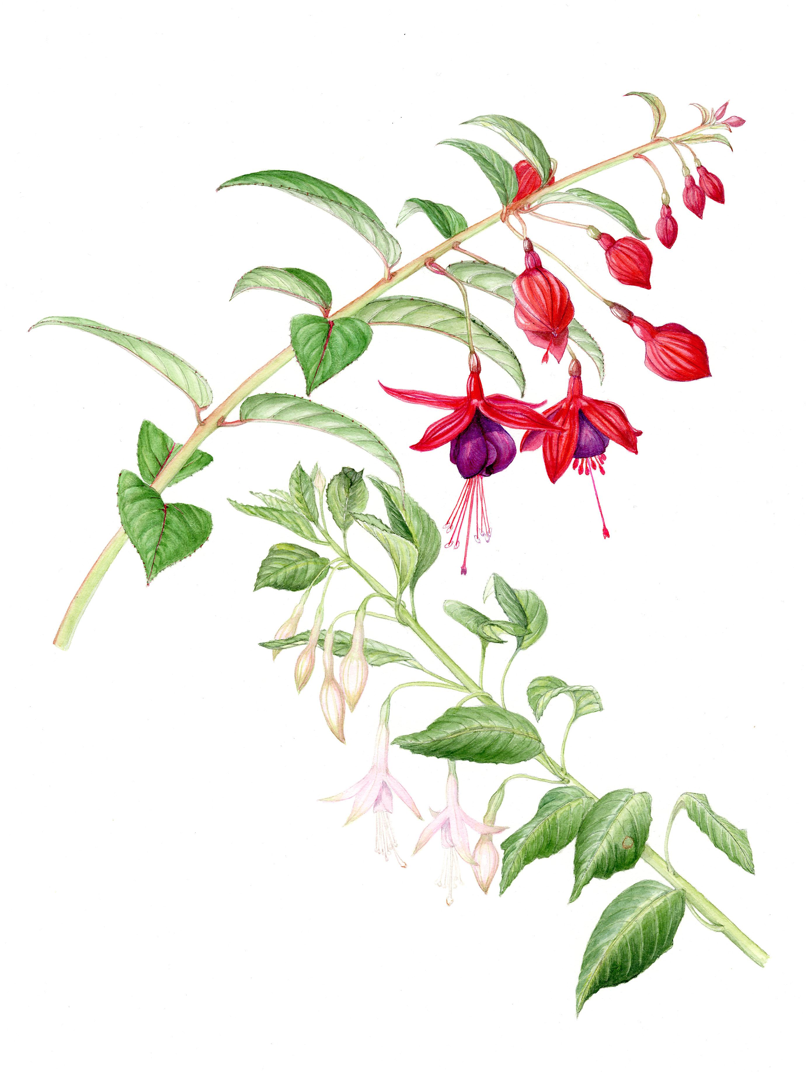 Hardy Fuchsias