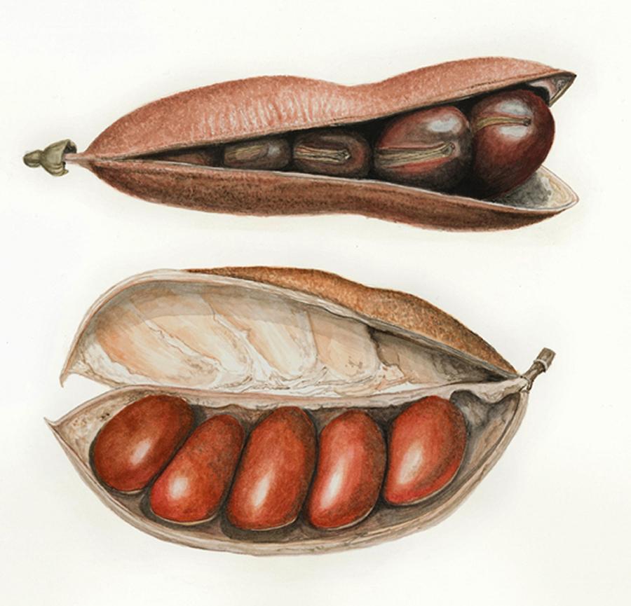 Castanospermum australe (2)