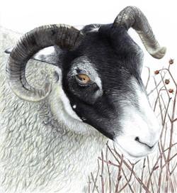 Scottish Sheep