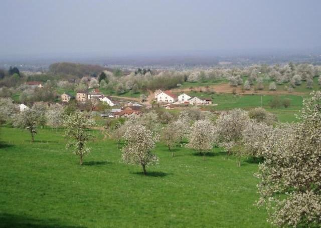 les cerises en fleures