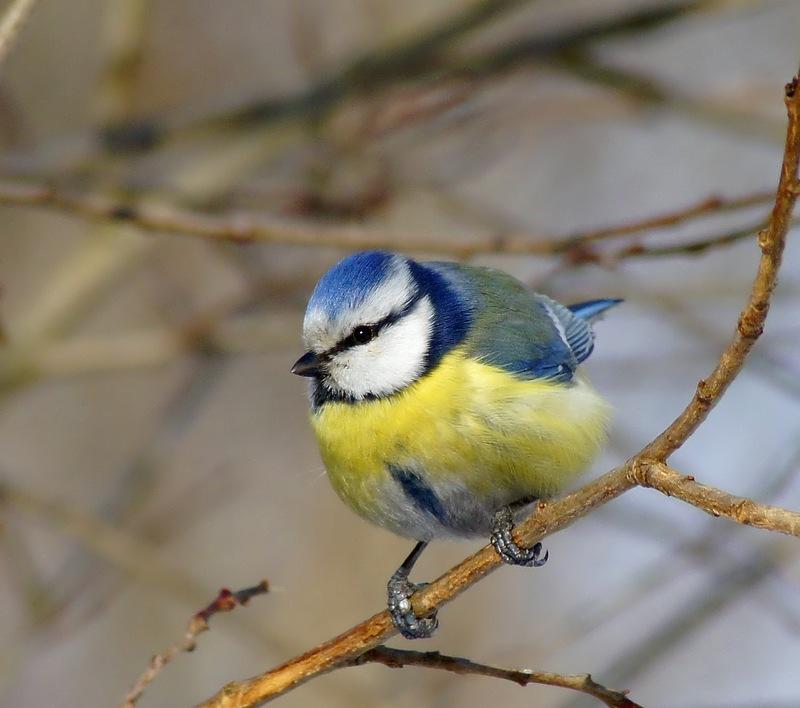птичий перезвон
