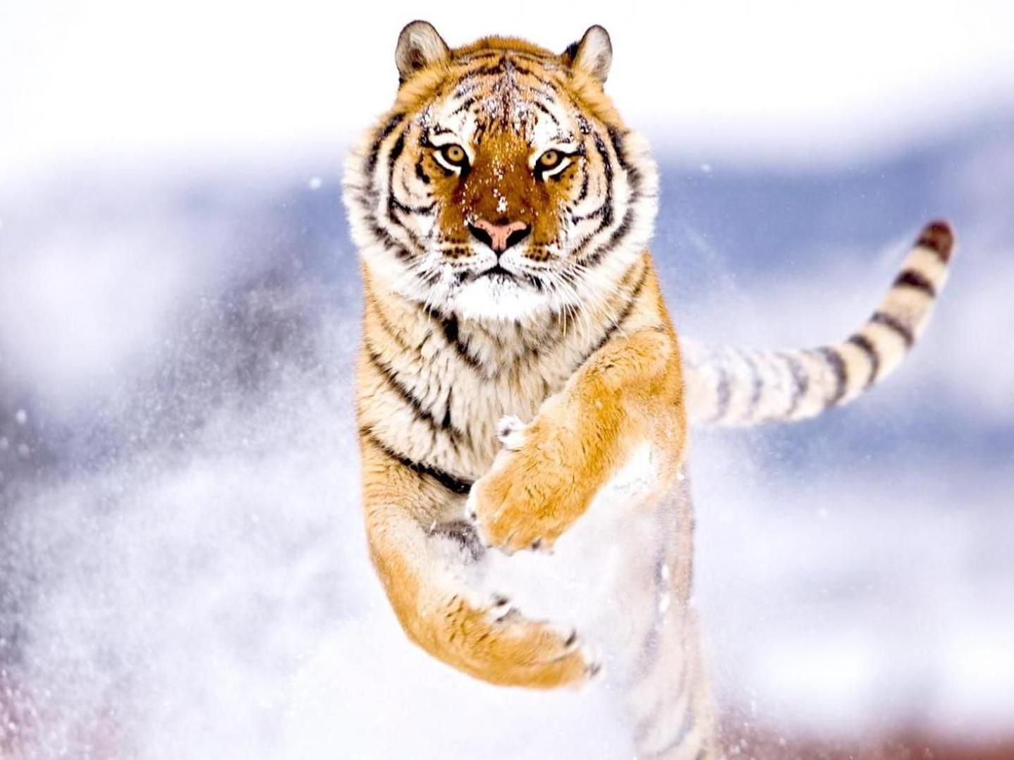 siberian_tiger-e1408870546707