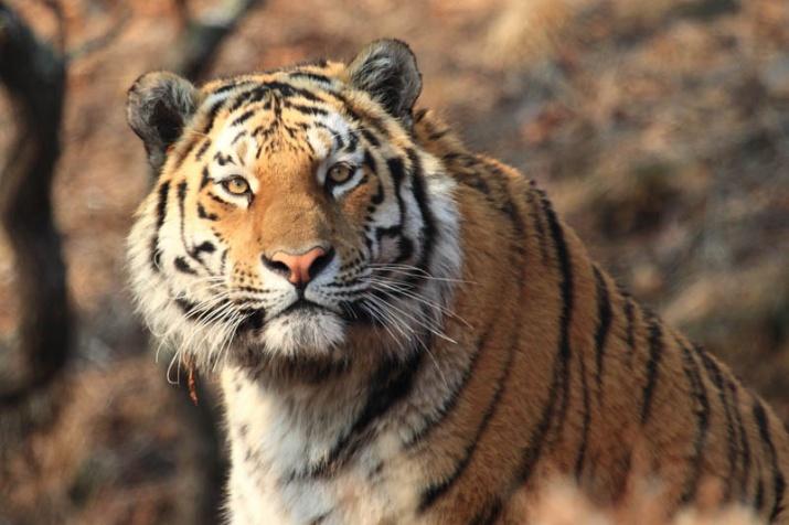 285-sohranenie-redkih-vidov-amurskiy-tigr