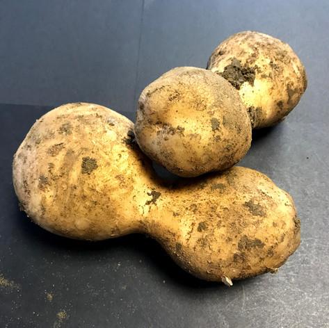Potato Secondary Growth