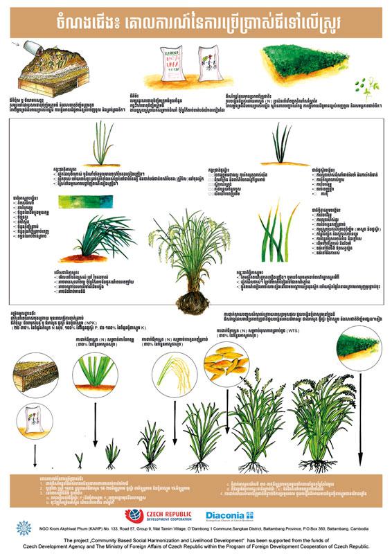 Výukový plakát - Rice Fertilisation