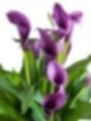 purple%20callas_edited.jpg