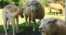 ovelhas.jpg