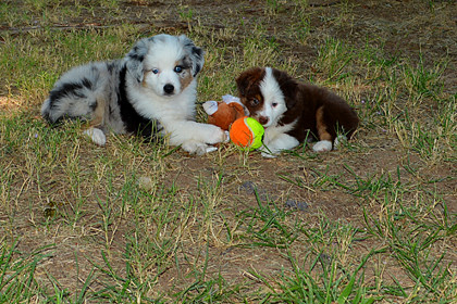 Just for Fun 3Laussies in everyday life, we love to share photos of our past mini aussie & toy aussie puppies or adults. Send your photos to us at www.3llambertslegacylivestock.com #3laussies