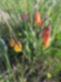 RAR Orange Bells.jpg