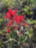 RAR Indian Paint Brush Red.jpg