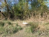 Cygne avec son nid pendant la descente des gorges de la Balme