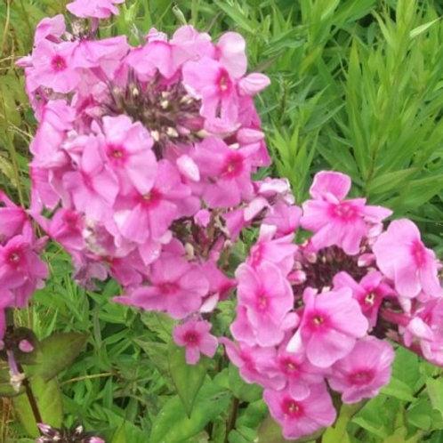 "Phlox paniculata ""Eva Cullum"""