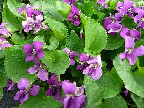 """Viola sororia """"Rubra"""""""