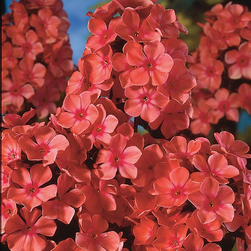 "Phlox paniculata ""Orange Perfection"""