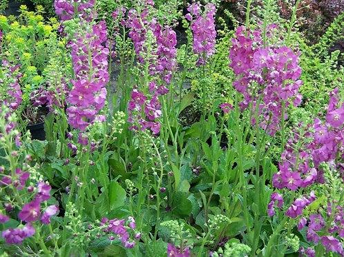 """Verbascum phoenicum """"Rosetta"""""""