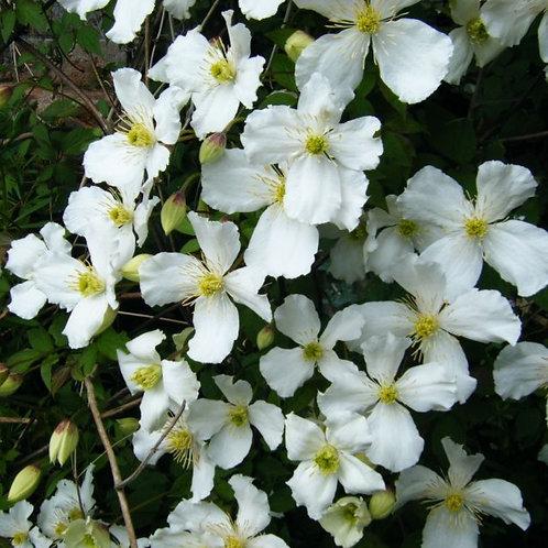 "Clematis montana ""Grandiflora"""
