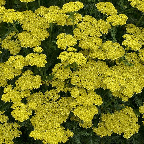 "Achillea x. ""Little Sunshine"""