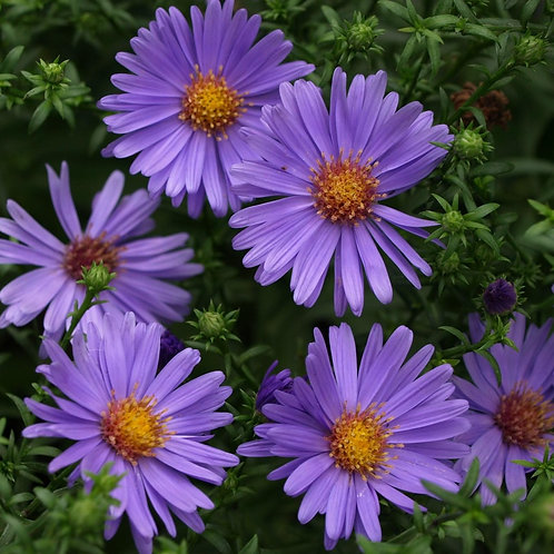"Aster dumosus ""Early Blue"""