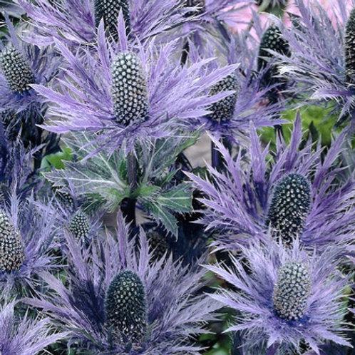"Eryngium alpinum x. ""Blue Star"""
