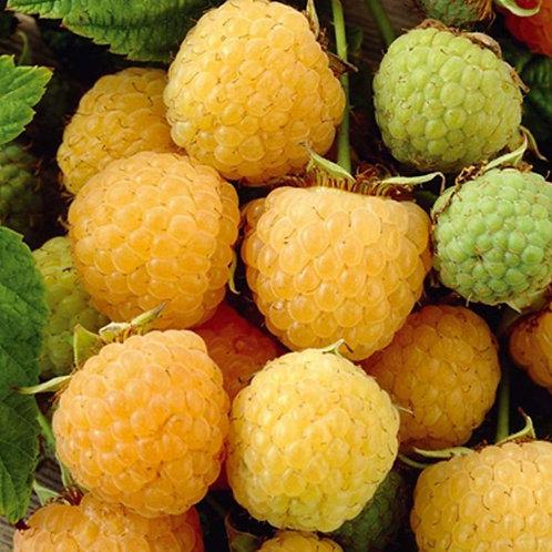 "Rubus idaeus ""Fall Gold"""