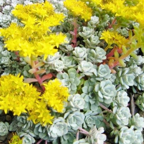 """Sedum spathulifolium """"Cape Blanco"""""""