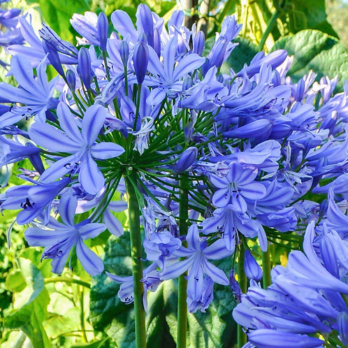 "Agapanthus x. ""Blue Triumphator"""