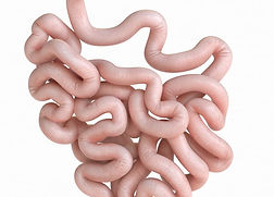 small intestine.jpg