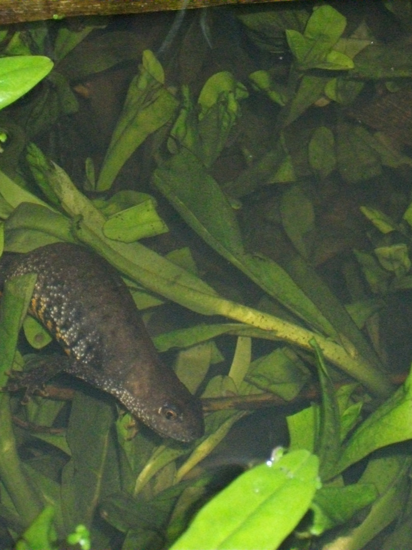 Reg's photo adult female in pond.JPG