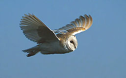 barnowl02nb.jpg