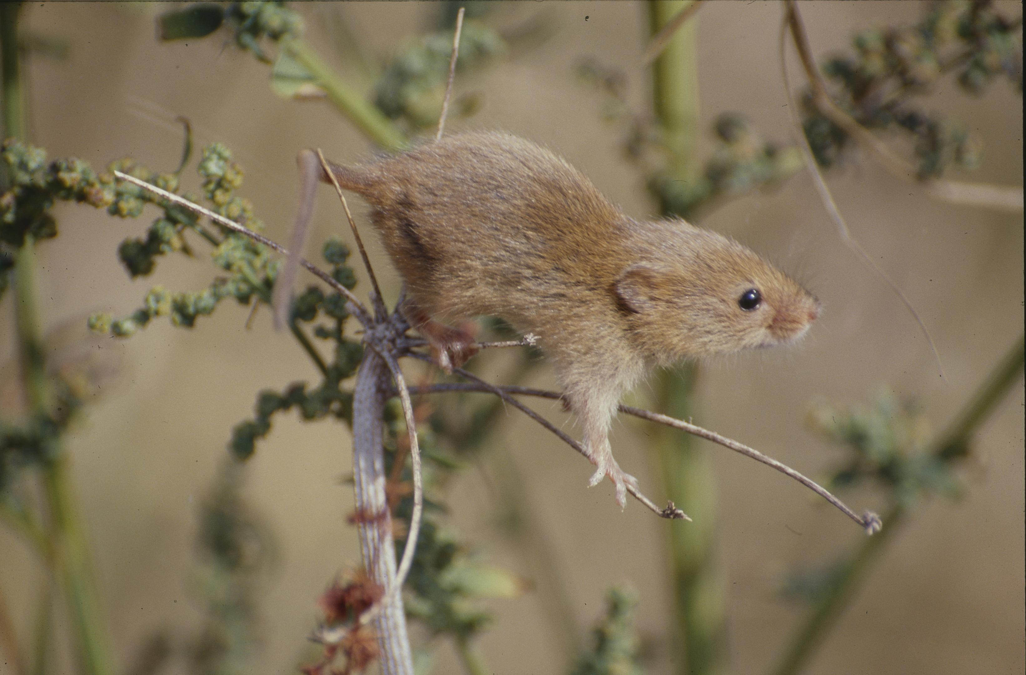 Commons harvest mus slide003
