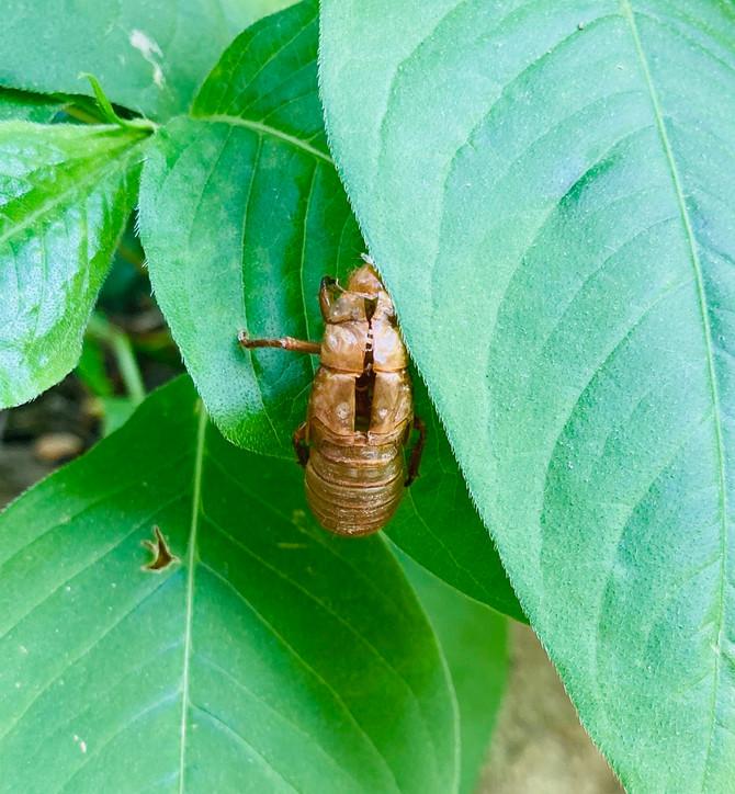 My Cicada Teacher