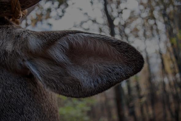 whitetail deer hearing