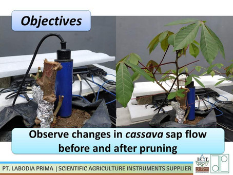 Monitoring perubahan sapflow pada tanaman singkong dari kondisi tanpa daun, hingga tumbuh daun