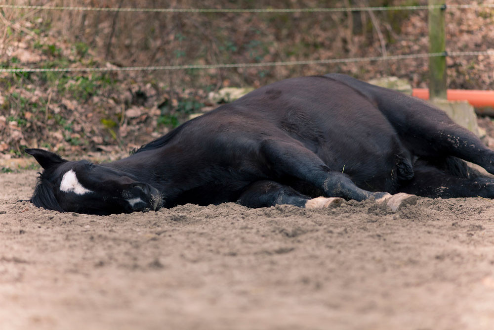 Horse Laying Down, Colic in Horses