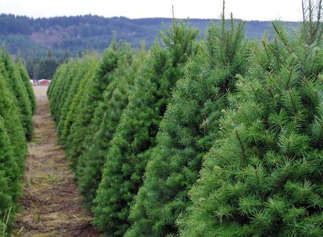 ¿Por qué adquirir un árbol de navidad natural?
