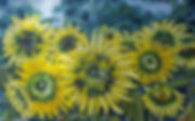 solsikker med humlebi.jpg
