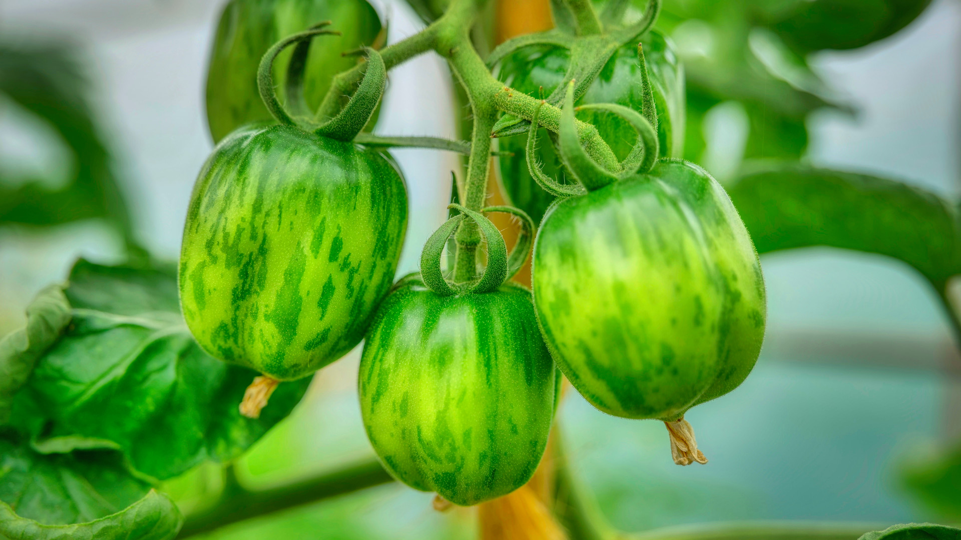 Summer - Beautiful Green Tomatoes