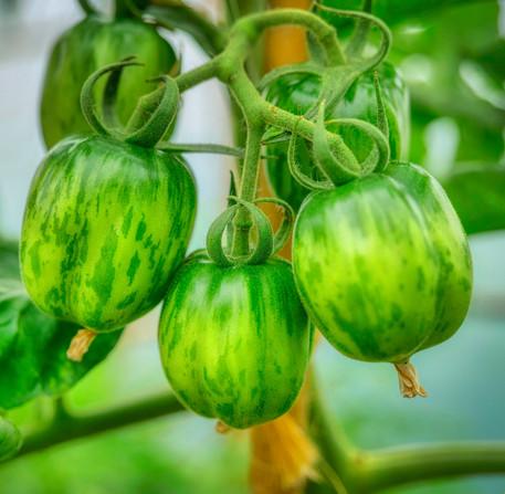Summer - Beautiful Green Tomatoes
