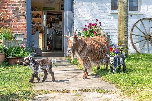 Goats on Patrol.jpg