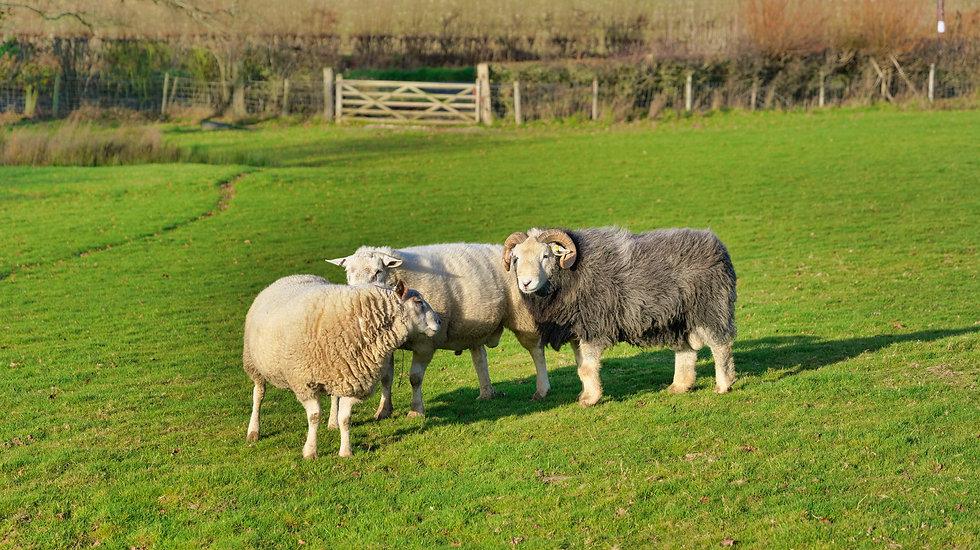 Brockwells Commercial Sheep.