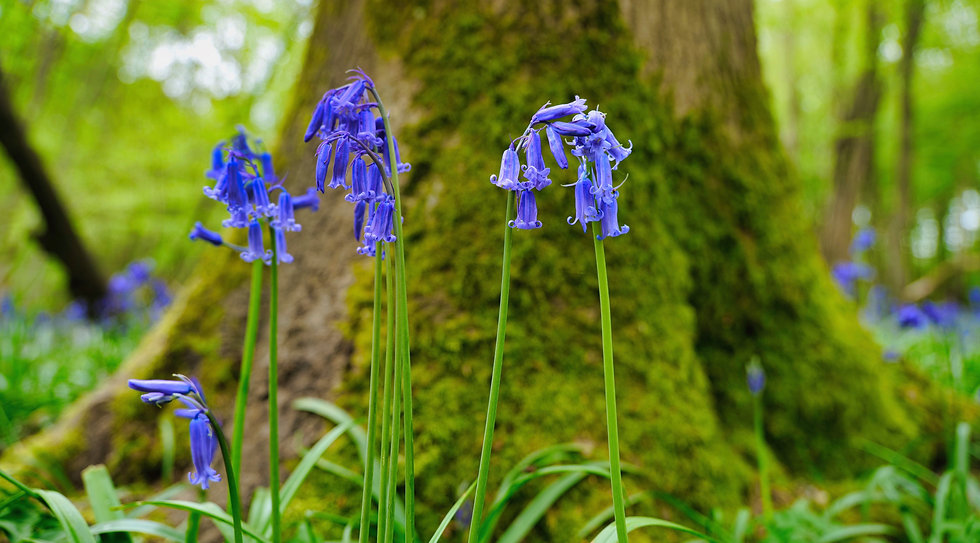 Brockwells Bluebell Woods