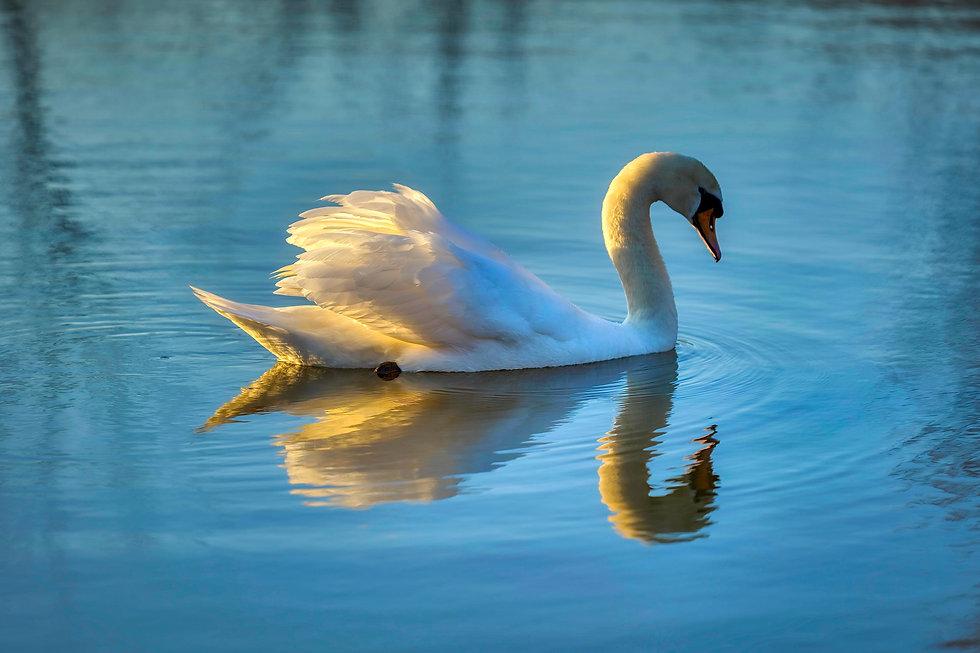 Plashett Lake Swan.jpeg